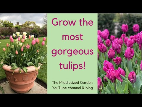 How to choose, plant and grow tulips